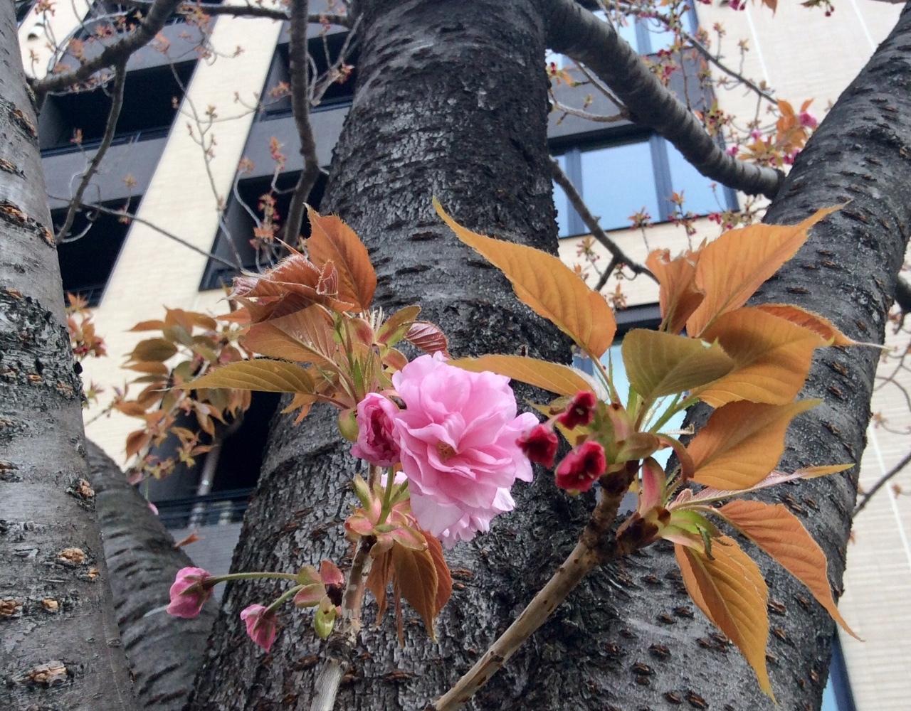 桜 IMG_8322