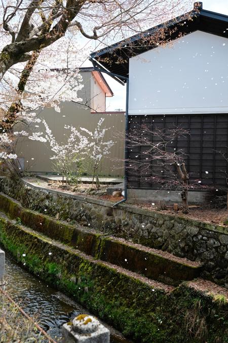 江名子川沿いの桜01