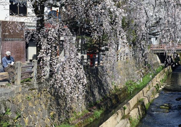 江名子川沿いの桜02
