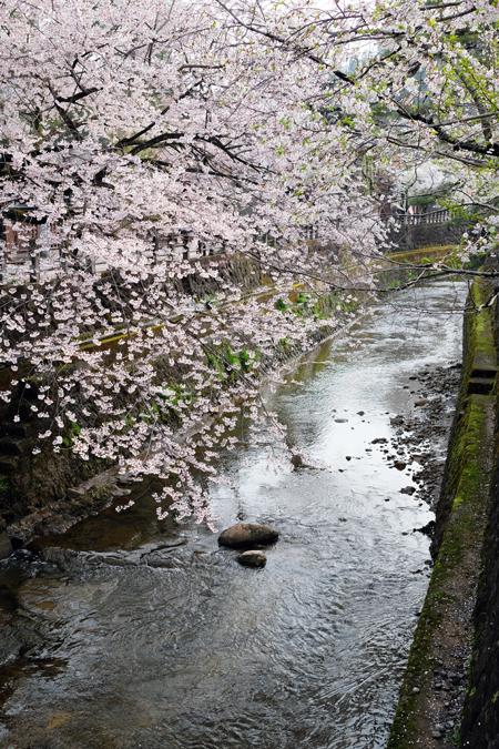 江名子川沿いの桜04