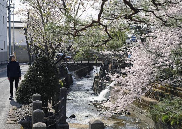 江名子川沿いの桜06