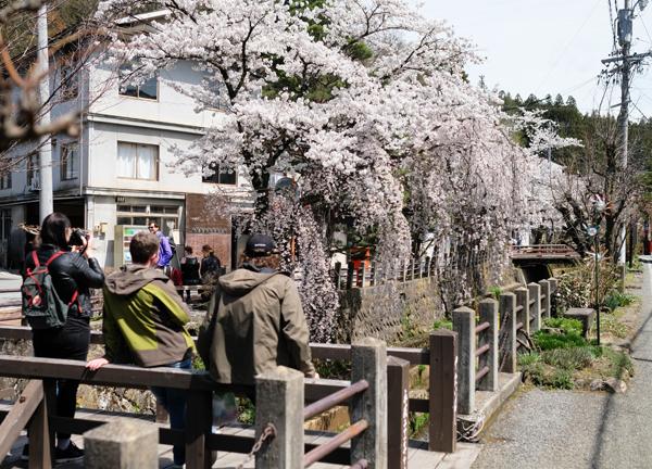 江名子川沿いの桜07