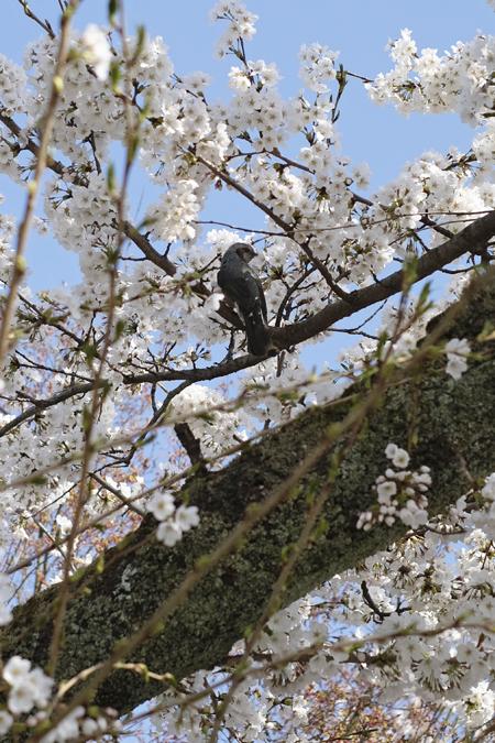 江名子川沿いの桜08