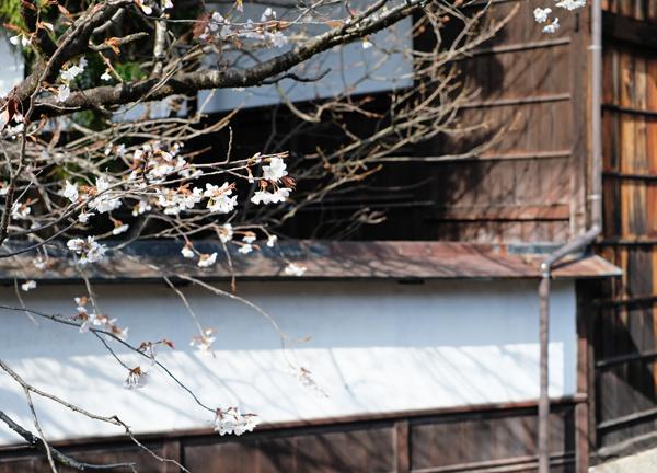 江名子川沿いの桜10