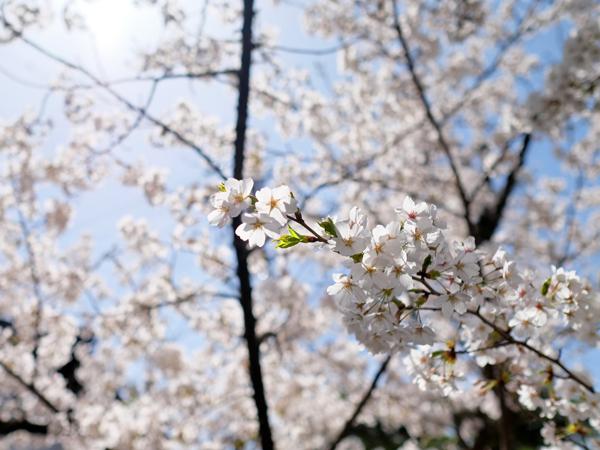 江名子川沿いの桜11