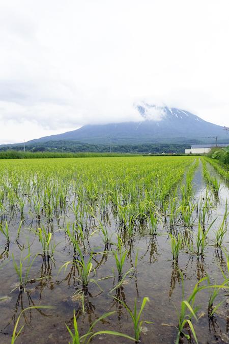 田んぼと羊蹄山01