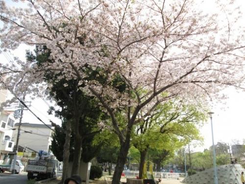 近くの公園へ3月26日(月)お花見に行きました。