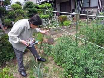 えんどう収穫1