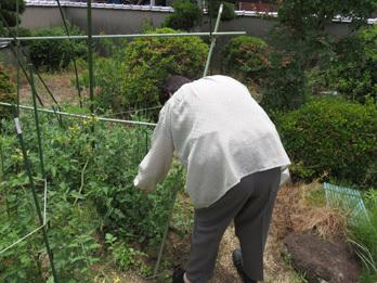 えんどう収穫2
