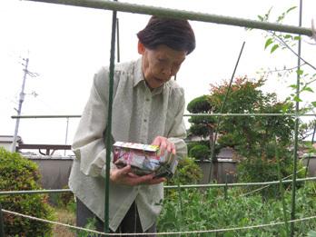 えんどう収穫3
