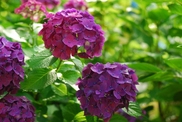 アジサイ赤紫