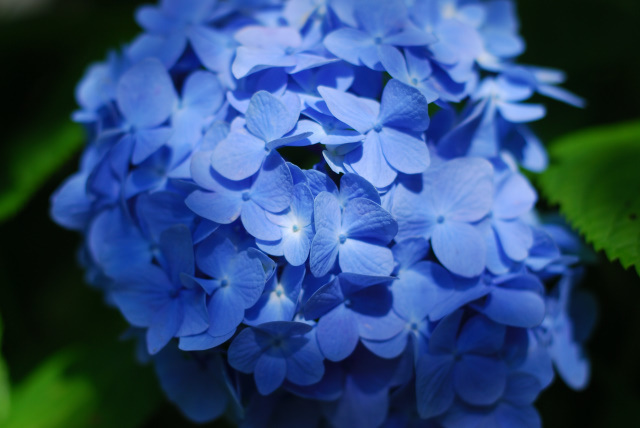 六甲山ブルー_紫陽花