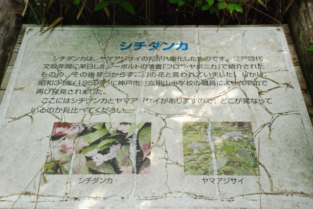 六甲山_炭屋道_シチダンカ