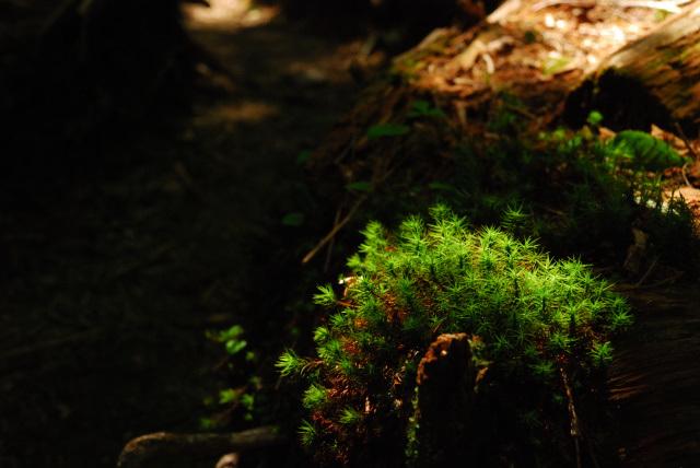塩見岳_シラビソの森
