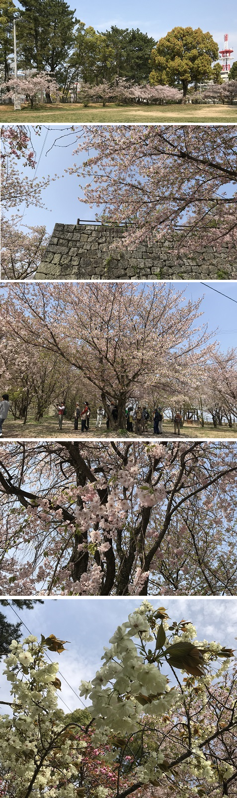 20180404黄緑色の桜 御衣黄桜