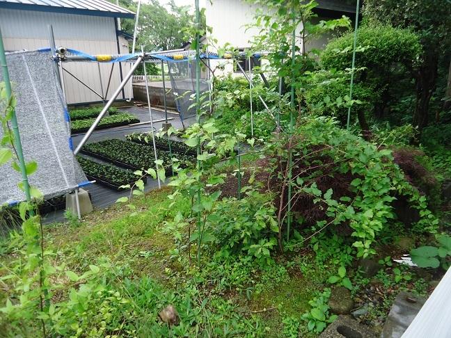 庭のシオデ