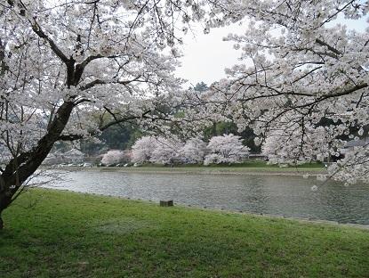 桜2018-8