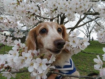 桜と笑花2018