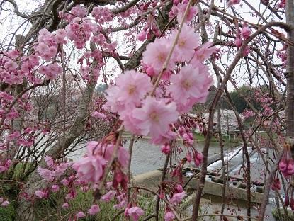 枝垂桜2018