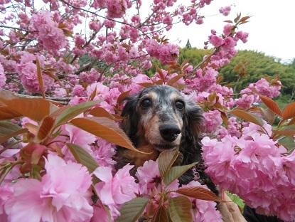 八重桜と実結2018