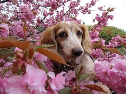 八重桜と笑花2018