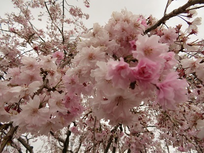 散り始めの枝垂桜2018