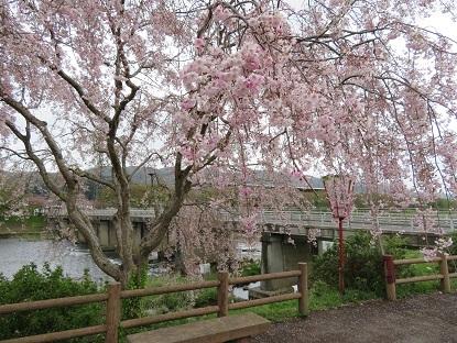散り始めの枝垂桜2018-2