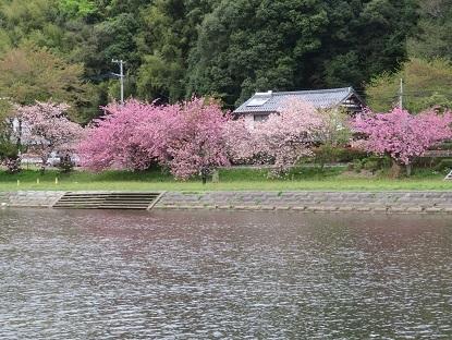 八重桜2018
