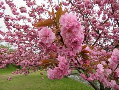 八重桜2018-3