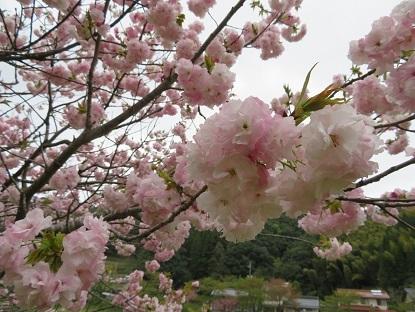 八重桜2018-4