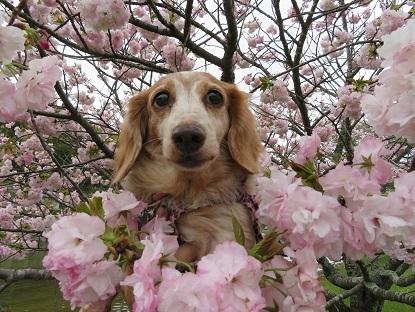 八重桜と笑花2018-2