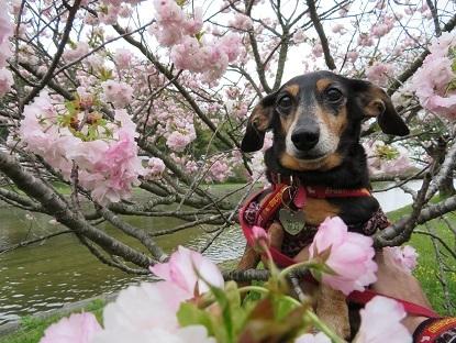 八重桜と姫2018-2