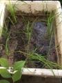 発泡スチロール箱稲作開始