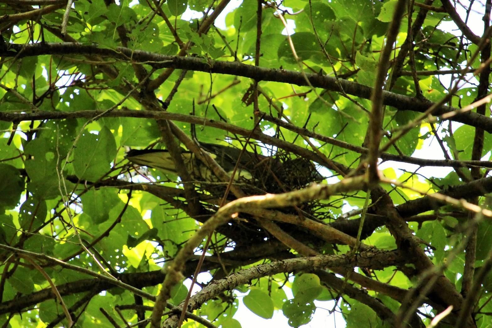 アオバトの巣