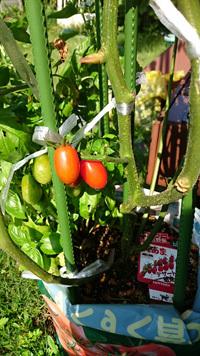 tomato290181