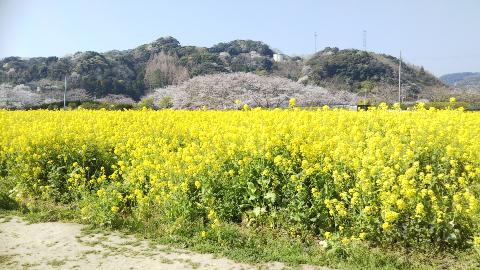 菜の花と桜 下加茂