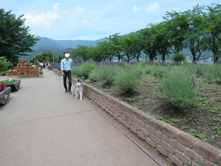 八木崎公園のラベンダー2018