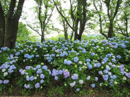 八木崎公園のあじさい2018