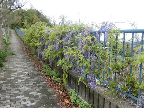 藤の花の小道。