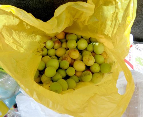 今年の梅はコンナ。