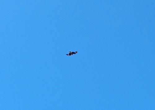 トンビ、飛んでるトコ。