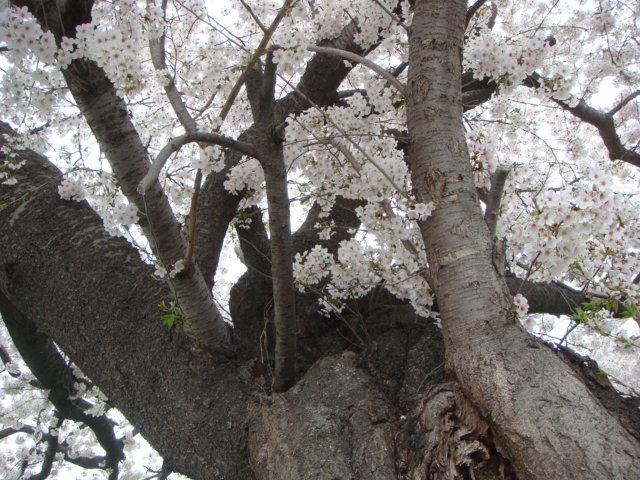 桜逢瀬川2