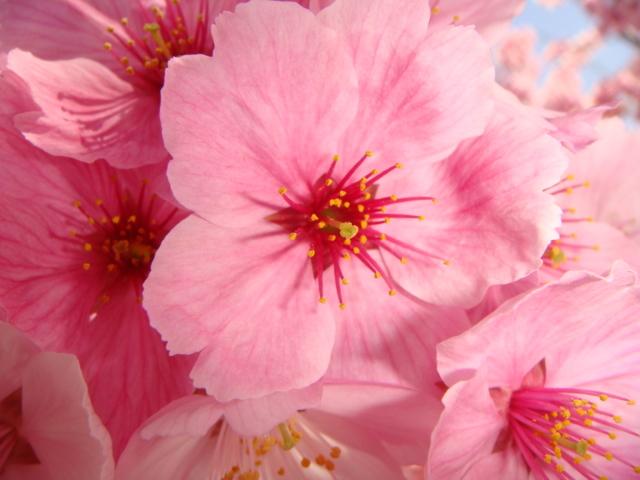 産土神社桜3
