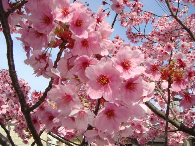 産土神社桜2