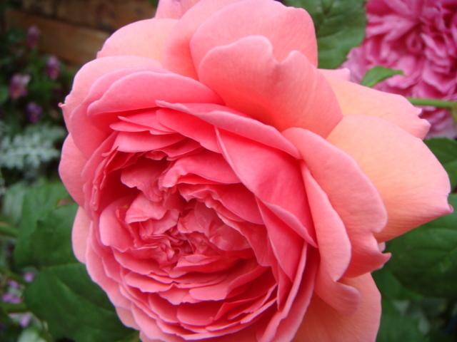 薔薇パーキング2