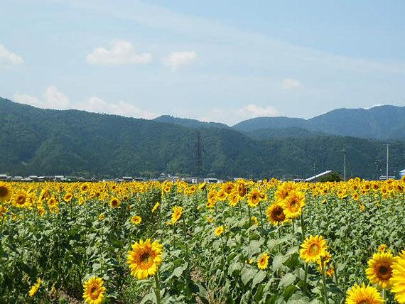 ひまわり畑_5