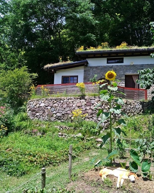 らくとひまわりとサトイモ畝と石積みの家