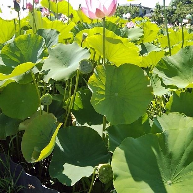 田んぼで育つ蓮の花