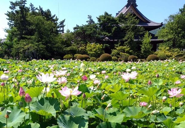 信濃国分寺と蓮の花