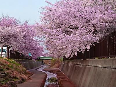 2018桜散歩イヴ8